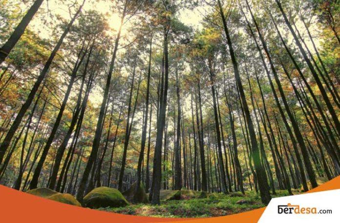 Hunting Foto di Hutan Pinus Pengger
