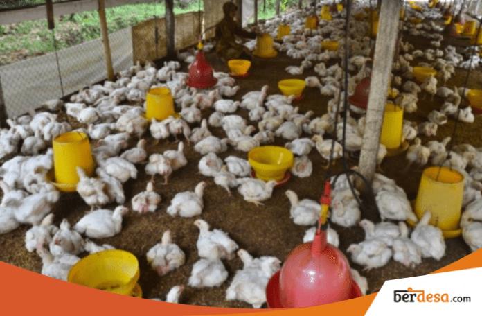 Peluang Usaha Desa Berternak Ayam Pedaging Yang Mudah Dilakukan