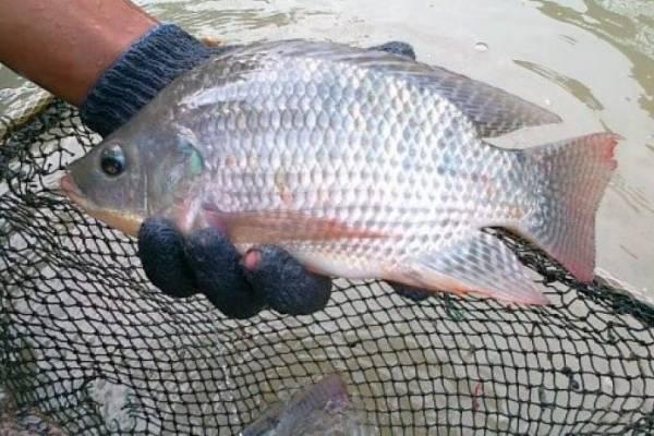 Budidaya Ikan Nila Berikut Ini Panduan Lengkap Yang Bisa Anda Ikuti Berdesa